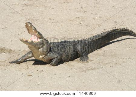 Gator 007