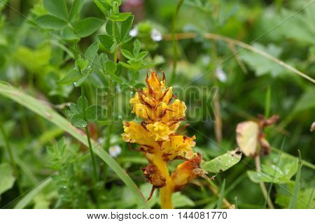 Flower of a Butterbur broom (Orobanche flava) a parasitic orchid of the Alps. poster
