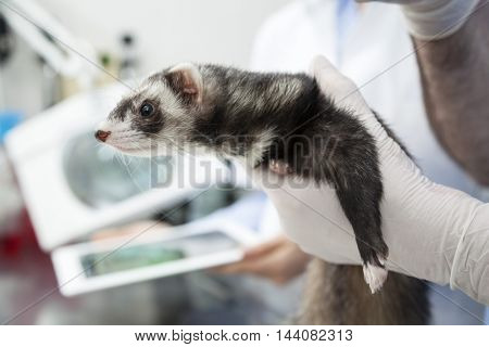 Doctor's Hand Holding Weasel In Clinic