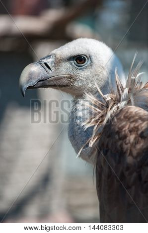 Griffon vulture (Gyps himalayensis) head and neck