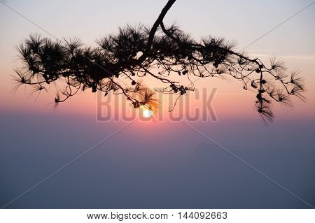 Pine leaves and branch silhouette in morning sunrise