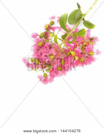 Pink crape myrtle Lagerstroemia speciosa or jarul flower of Indian subcontinent On a white background.  Indian lilac