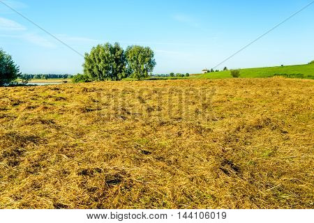 Orange-yellow colored grass drying in early morning sunlight on a field at the foot of a dike in the Netherlands.