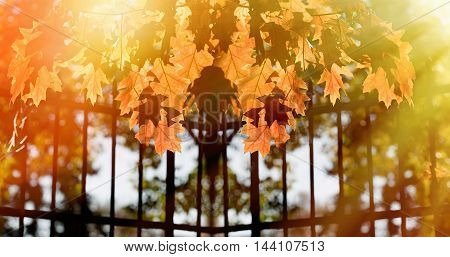Beautiful autumnal leaves lit by the afternoon sun - beautiful nature