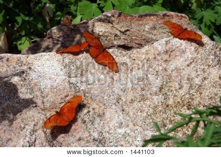 Butterflies Resting On A Rock