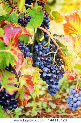 Autumn harvest: Gamay Wine Grape. Focus selective