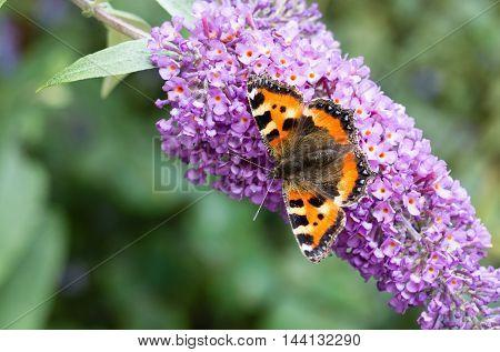 Small Tortoiseshell butterfly (Aglais urticae) feeding on Buddleia flower (also known as Butterfly bush orange eye and summer lilac)