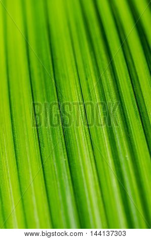 Detail image of a tropical green palm leaf