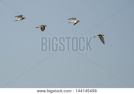 Flock of Killdeer Flying in a Blue Sky