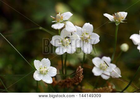 Flower of the marsh grass of Parnassus (Parnassia palustris)