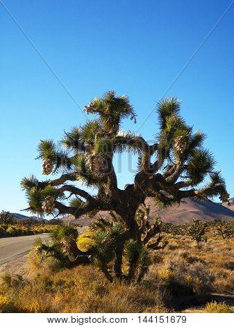 Large Joshua Tree (Yucca brevifolia) in the Mojave Desert (California, USA)