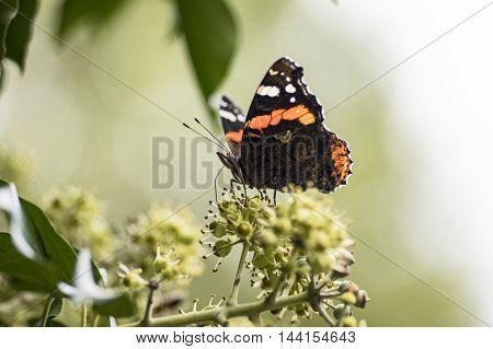 Blooming ivy and a red Admiral in summer