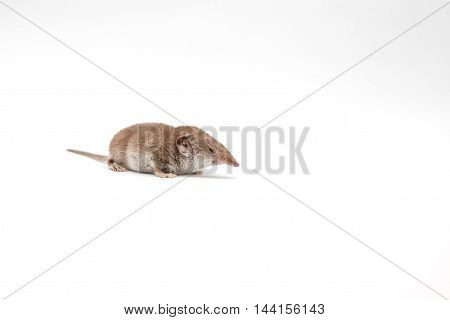 on a white background there is a small shrew