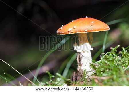 inedible mushroom in the grass close up