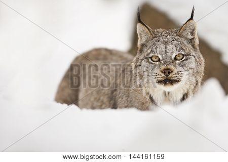 Lynx Is Looking Towards Camera.