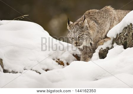 He Is Walking For Getting Close To His Hunt.
