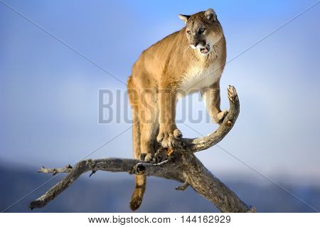 Mountain lion is roaring on deadwood. He is looking down. He focused on his hunt. The mountain lion habitat. Background is sky blue. He is in his habitat.