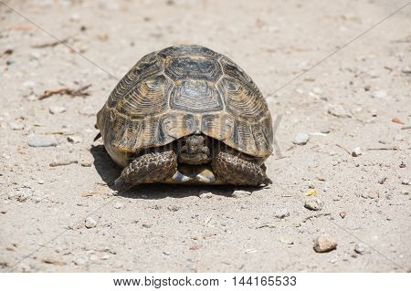 Tortoise hidden in its shell on the path. Tortoises are shielded from predators by a shell