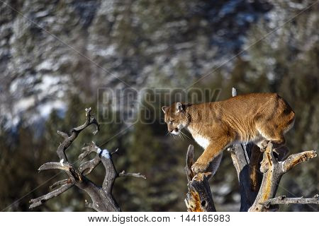 Mountain lion is looking down. He is getting ready for attack on the deadwood. He is standing on deadwodd with the landscape of Rocky Mountains. Photo taken in USA.It is winter daytime.