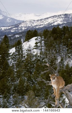 The Mountain Lion Habitat. He Is Attacking For Prey