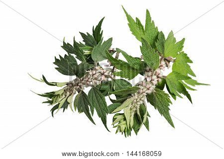 Motherwort (Leonurus cardiaca) isolated on a white background. Other names: throw-wort lion's ear and lion's tail. Used in herbal medicine it is a valuable honey plant