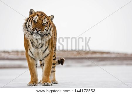 The Amur Tiger Habitat. Hearose Feeling Of Strength.