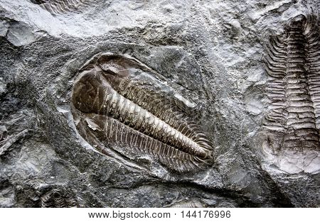 well preserved 250 million years old fossilized trilobites