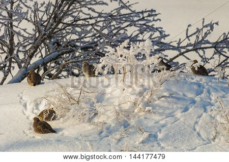 Wild partridges at the January snow. In winter.