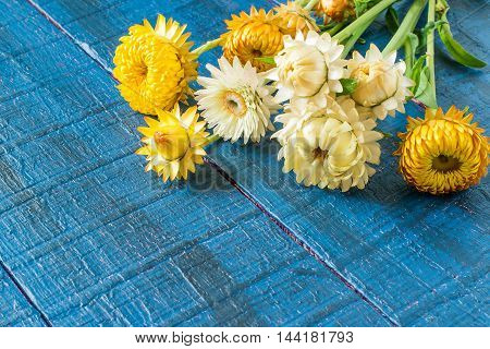 Strawflower commonly known as the golden everlasting (Xerochrysum bracteatum) on blue wooden table with space for text
