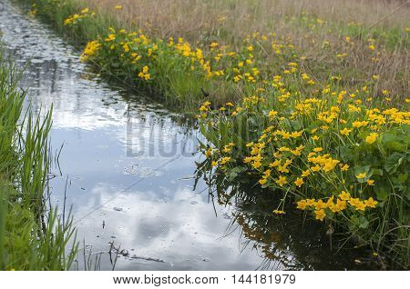 Group of Marsh Marigold (Caltha palustris) growing alongside a small Ditch
