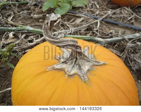Artistic close-up of large orange pumpkin with contorted stem and star shaped base in a field of dried twisted vines