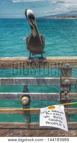 Brown pelican sitting on a pier with warning sign: Wild brown pelican. We bite stupid people.