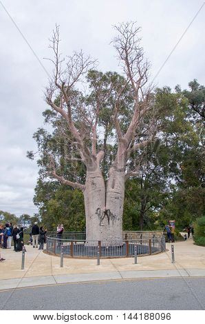 PERTH,WA,AUSTRALIA-AUGUST 5,2016: Tourists at King's Park Botanic Garden with the large Boab Tree tourist attraction in Perth, Western Australia.