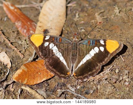 California Sister, Adelpha californica, close-up. California Sister, is a species of butterfly in the family Nymphalidae. They are common in California, but can also be found in western Nevada and Oregon, as well as in northern Baja California.