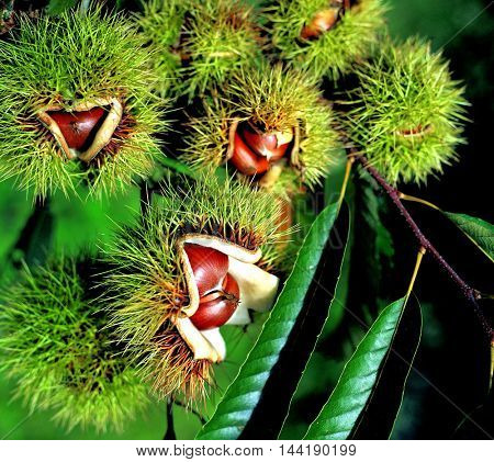 Chestnuts In chestnut bur
