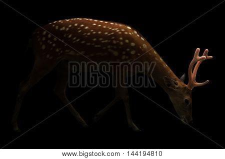 Sika Deer In The Dark