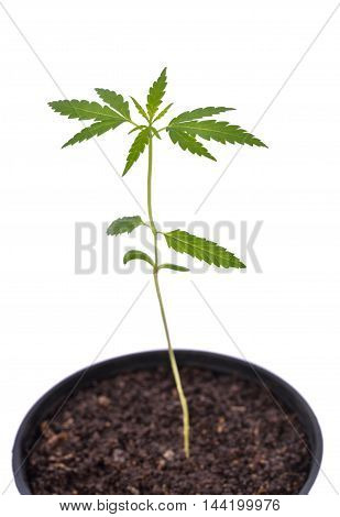 seedling of cannabis in planting pot green