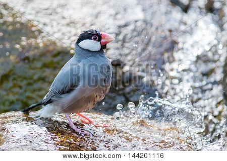 Java Sparrow (lonchura Oryzivora)