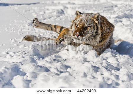 Portrait Of Amur Tiger. Amur Tiger Has Stripes And A Shade Of Orange In Color.