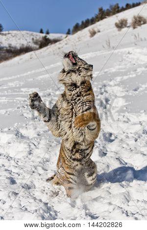 The Amur Tiger Habitat.