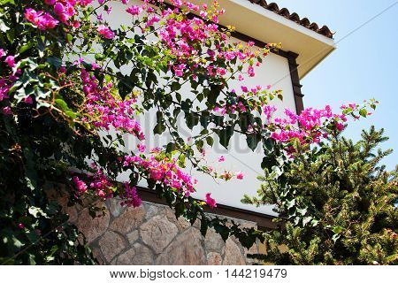 bougainvillea bush with pink flowers against wall