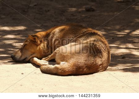photo of a feral dog resting in the shade