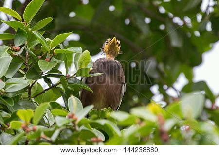 Ant view of Bald headed Common Myna bird with yellow head perching on tree branch in the forest, Thailand, Asia