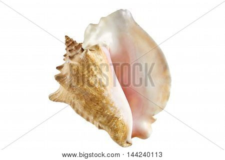 natural big shell from the ocean isolated