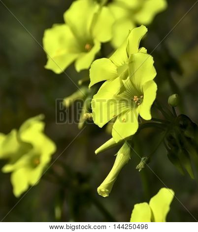 A yellow oxalis over a green background