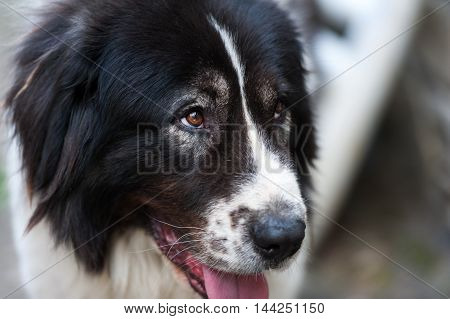 Close up portrait of a Bucovina shepherd dog