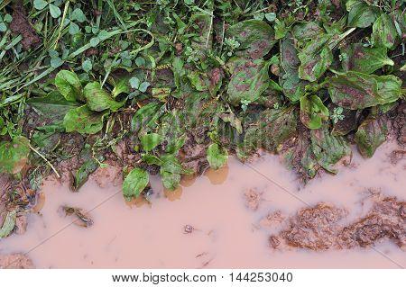 Dirty Plantain