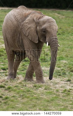 photo of a young African elephant walking on grass