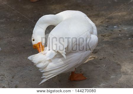 photo of a white goose preening it's tail feathers