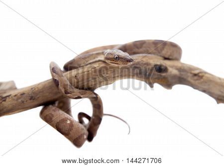 Annulated Boa corallus annulatus isolated on white background